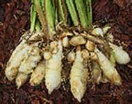 arrowroot starch picture 3