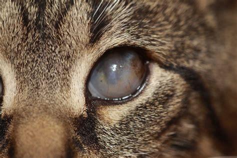 feline herpes conjunctivitis picture 15