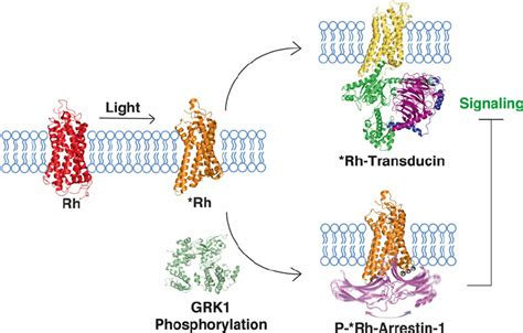 is rhodopsin located in skin cells picture 1