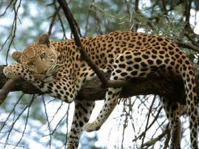 do cheetahs sleep picture 13