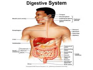 anatomy and physiology of gastrointestinal tract picture 1