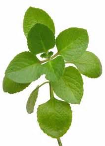 anong herbal na gamot sa pangpaliit ng puson picture 2