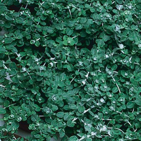 care for licorice plant picture 3