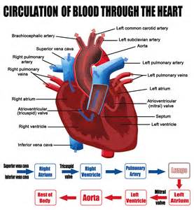 picture blood flow heart picture 14