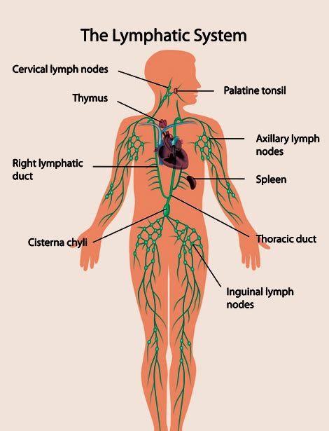 lymph blood & skin natures way picture 3