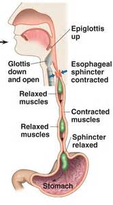 accessory muscle picture 6