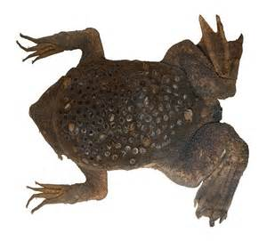 toads that deliver babies through skin on back picture 14