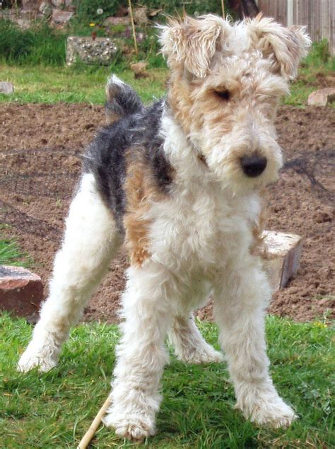 wire hair fox terriers web 9818 picture 5