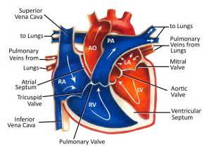 cardiac blood flow picture 1
