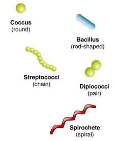 shape of bacterial dna picture 6