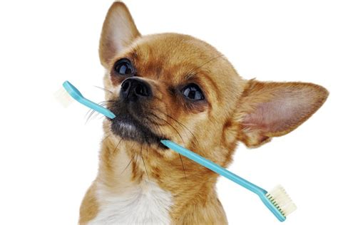chihuahua teeth cleaning picture 2