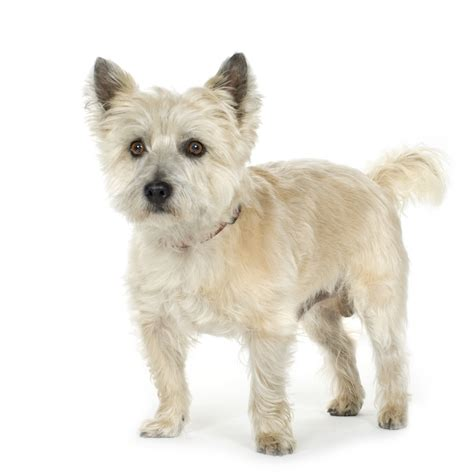 carin terrier hair cuts picture 3
