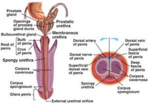 detailed diagram of the human penis picture 13