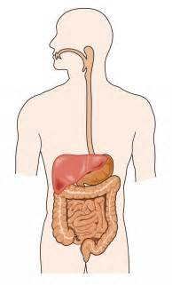 gastrointestinal tract picture 3