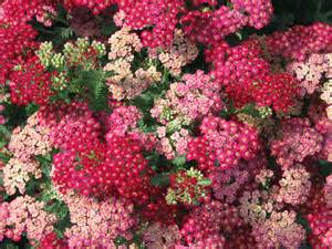 yarrow use picture 6