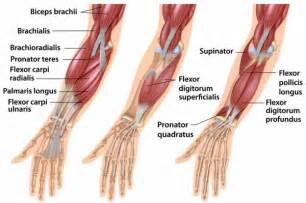forearm muscle picture 13