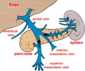 blood flow in the liver picture 5