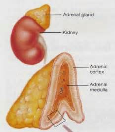 adrenal gland picture 19