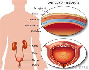 anatomical diagram of the bladder picture 3