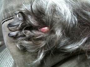 dog skin lesions picture 11