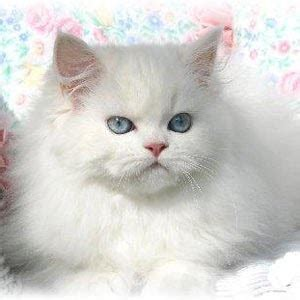 persian cats skin disorders picture 11