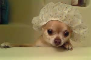 how do you clean chihuahua puppies' h picture 10