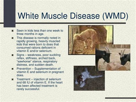 goat white muscle disease picture 9