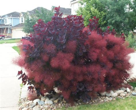caring for purple smoke trees picture 3