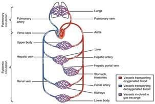 blood flow through the body picture 6