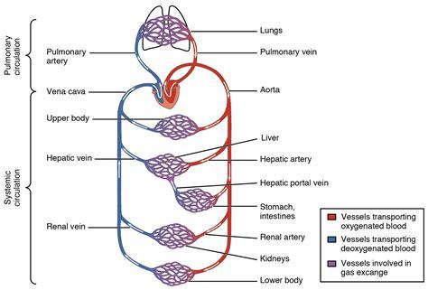 blood flow through capillaries picture 3