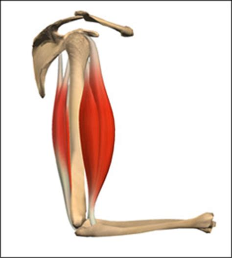 agonist and antagonist muscle picture 13
