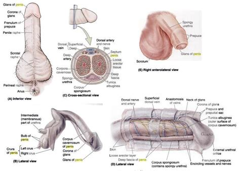 anatomy of the penis picture 2