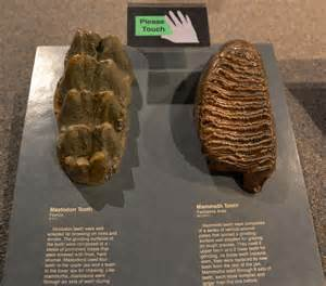 mammoth teeth picture 15