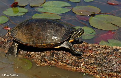 diet of the river cooter turtles picture 12