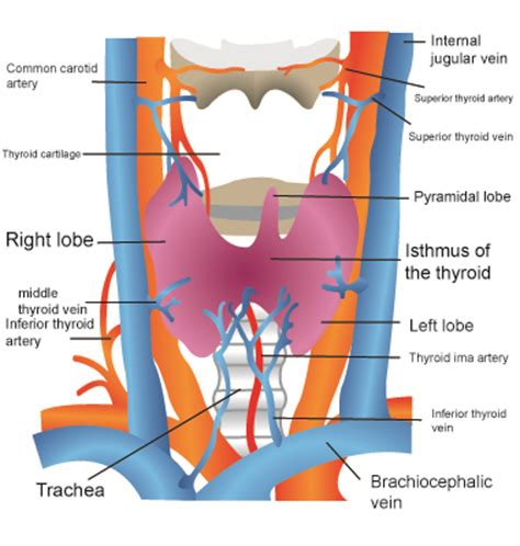 diagrams of nerve supply to thyroid gland picture 16