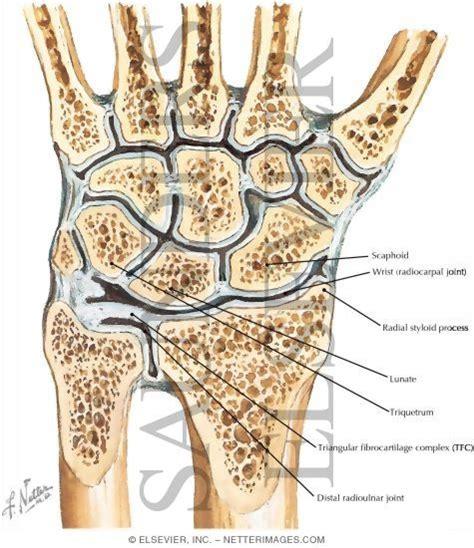 ellipsoid joint picture 6