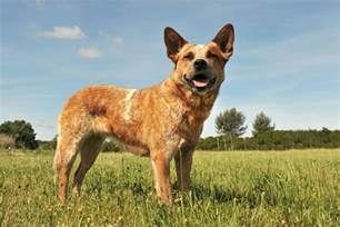 austrailian cattle dog diet picture 13