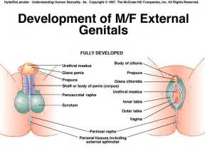 examining male sex organs picture 10