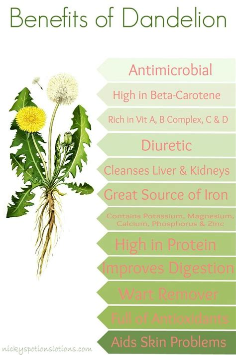 red dandelion greens health benefits picture 9