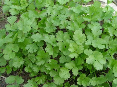 cilantro digestion picture 6
