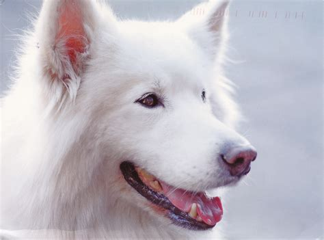 how to whiten canine h picture 7