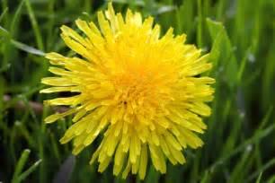 a dandelion picture 18