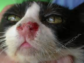 feline herpes picture 2