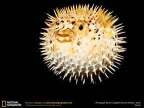 puffer h picture 10
