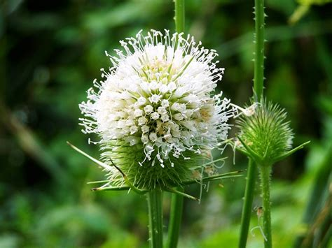 milk thistle help liver disease picture 9