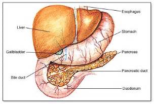 6 digestive accessory organs picture 1