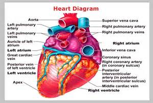 heart arteries diagram picture 5