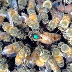 honey bees for sale in louisiana picture 10