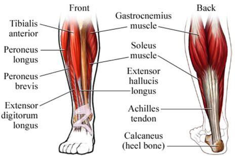 leg muscle illustration picture 7