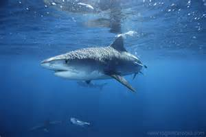 pics of tiger sharks h picture 5